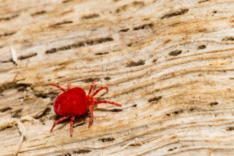 Red Velvet Mite (Trombidium holosericeum)