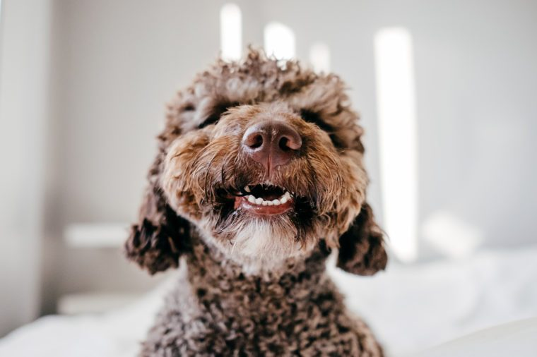 Brown Spanish Water Dog with lovely face and big brown eyes playing at home on the bed. Indoor portrait