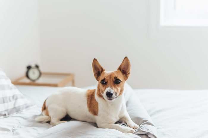 Portrait of adorable Jack Russell Terrier relaxing on comfortable bed in morning light.