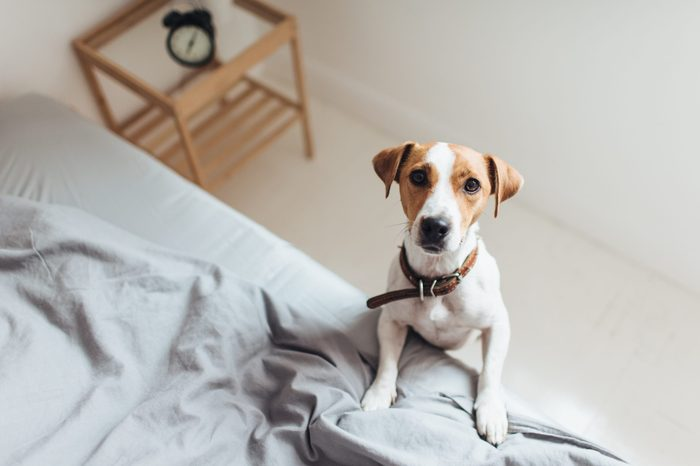 From above view of charming Jack Russell Terrier bending on bed looking at camera with interest.