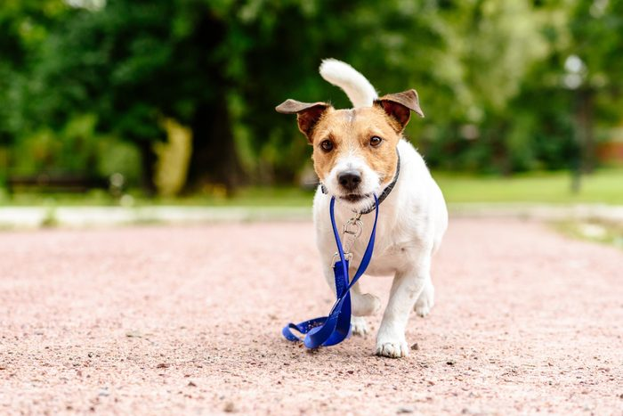 Dog walking at park holding its own leash in mouth
