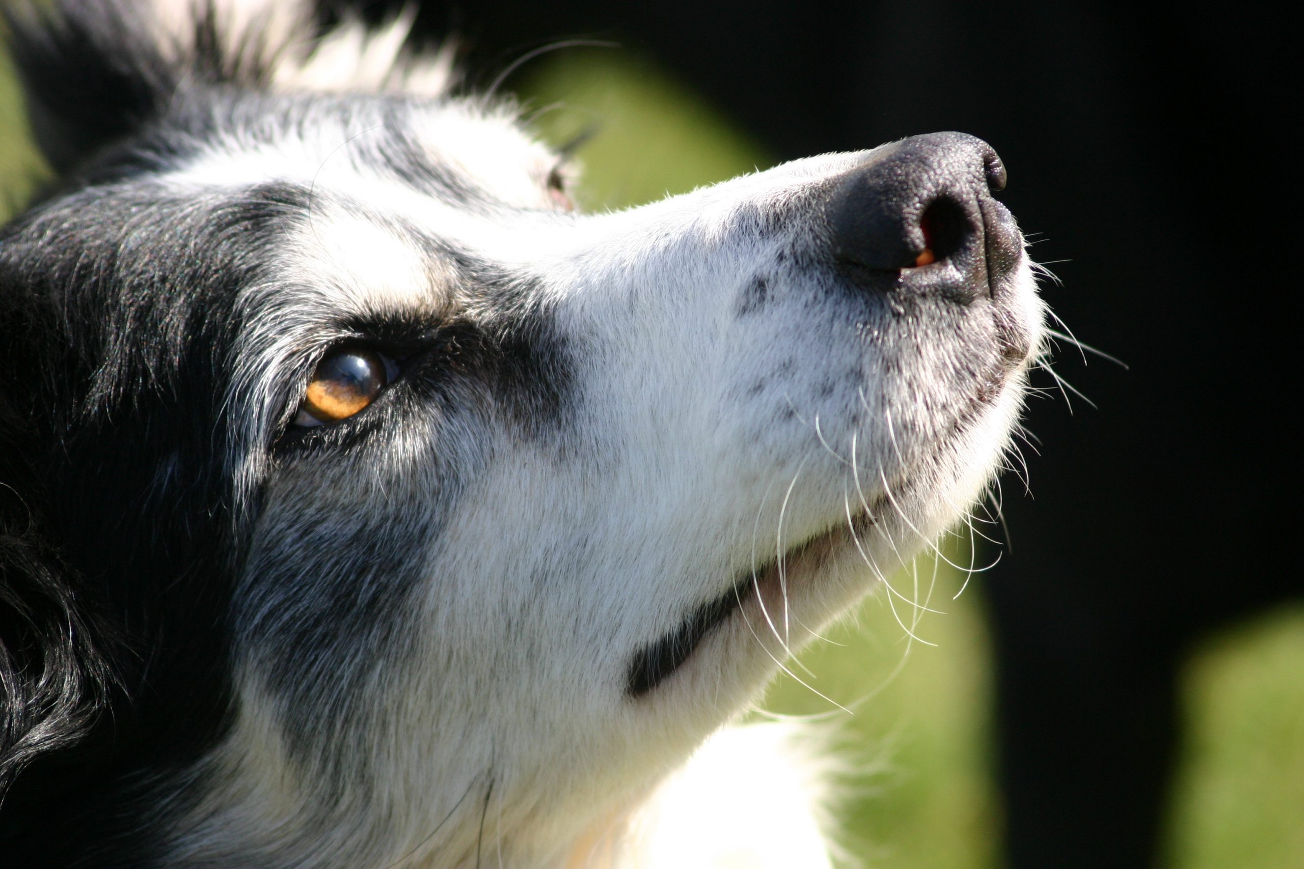 "close up border collie face dog, amber eye colour ""sheep dog"""