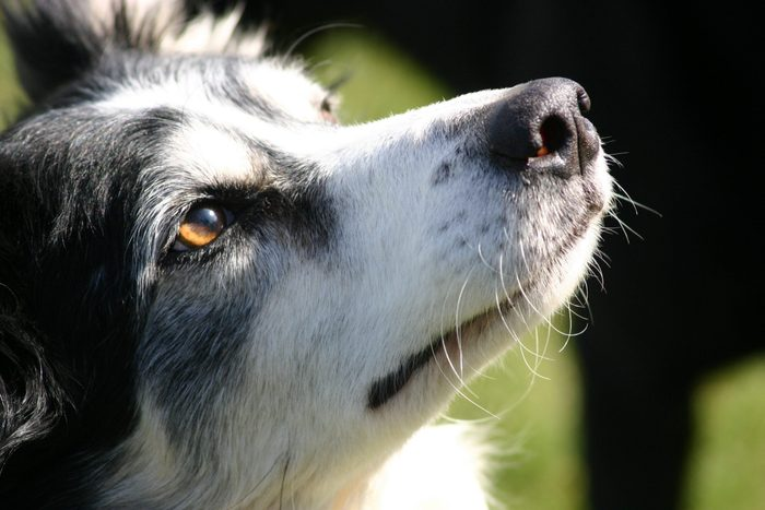 "close up border collie face dog, amber eye colour ""sheep dog"""