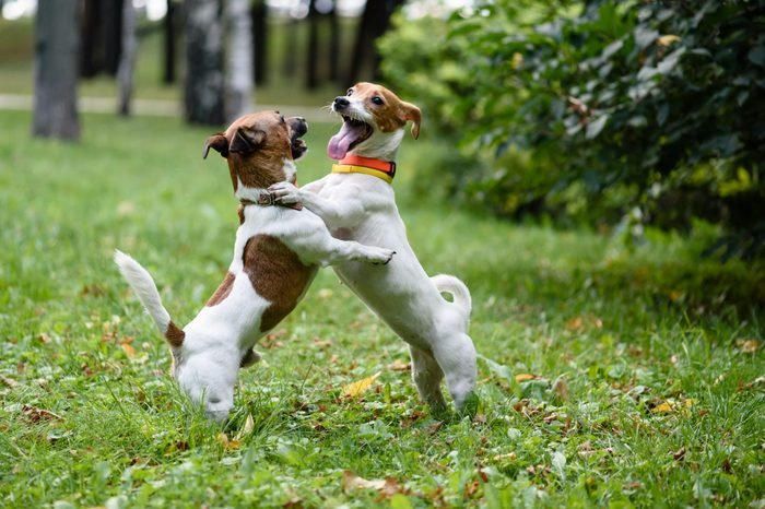 Two dogs playing and dancing