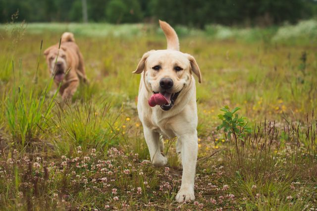 Portrait of golden labrador running forward in camera direction on a field in the summer park, looking at camera. Green grass and trees background