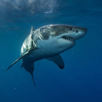 The Real Reason Aquariums Never Have Great White Sharks