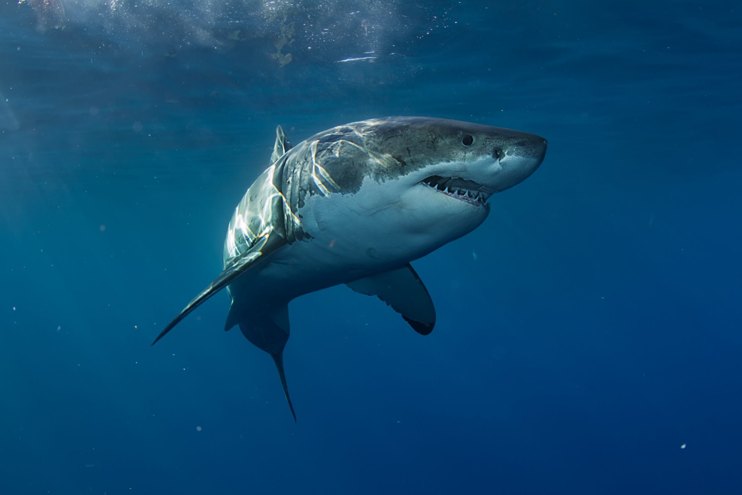 Great White Shark in Pacific ocean