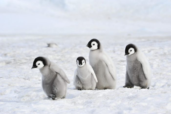Emperor Penguin chicks in Antarctica