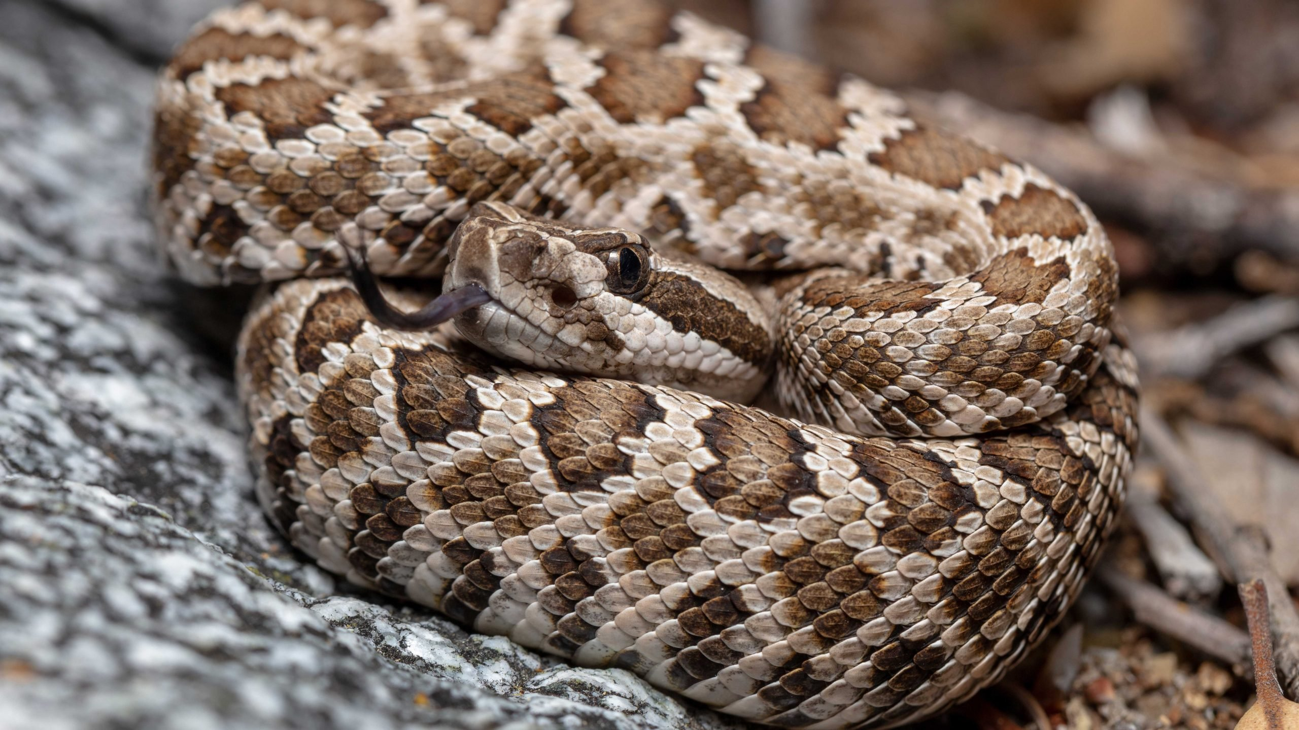 Neonate Southern Pacific Rattlesnake (Crotalus helleri)