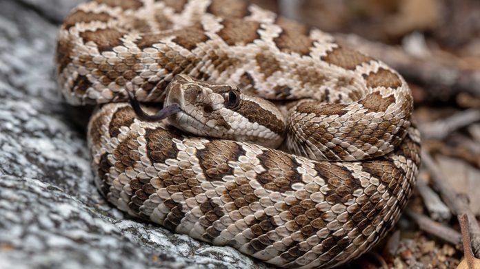 Neonate Southern Pacific Rattlesnake (Crotalus helleri)