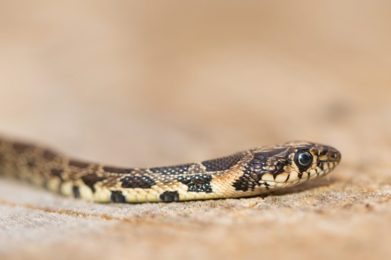 Portrait of wild Horseshoe whip snake (Hemorrhois hippocrepis). Close up photo of exotic vibrant brown and grey snake on the ground. Shallow blurry background. Reptile species from Portugal, Europe.