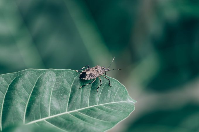 Close Up of linen skin stink bug on the green leaf, The brown marmorated stink bug is an insect in the family Pentatomidae.