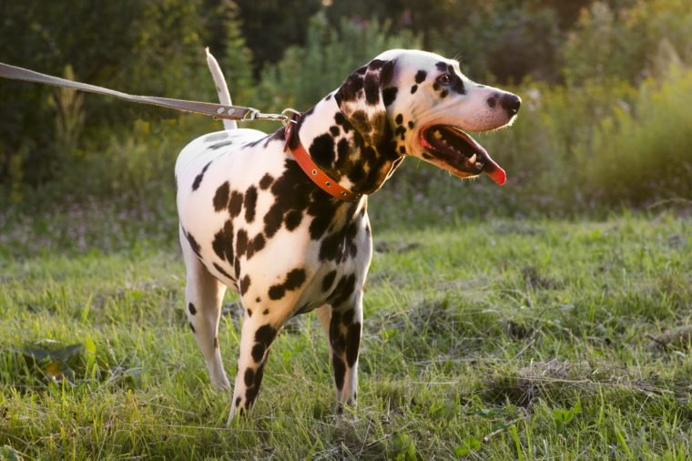 Dalmatian dog walking on the street in the summer