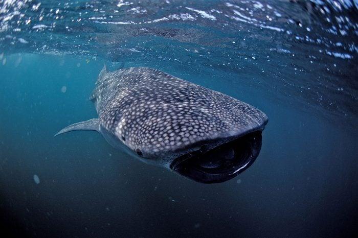 Feeding Whale shark (Rhincodon typus), Ningaloo Reef, Western Australia, Australia, Indian Ocean