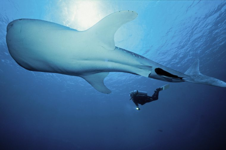 Scuba diver and Whale Shark (Rhincodon typus), largest fish in the world, Maldives, Indian ocean