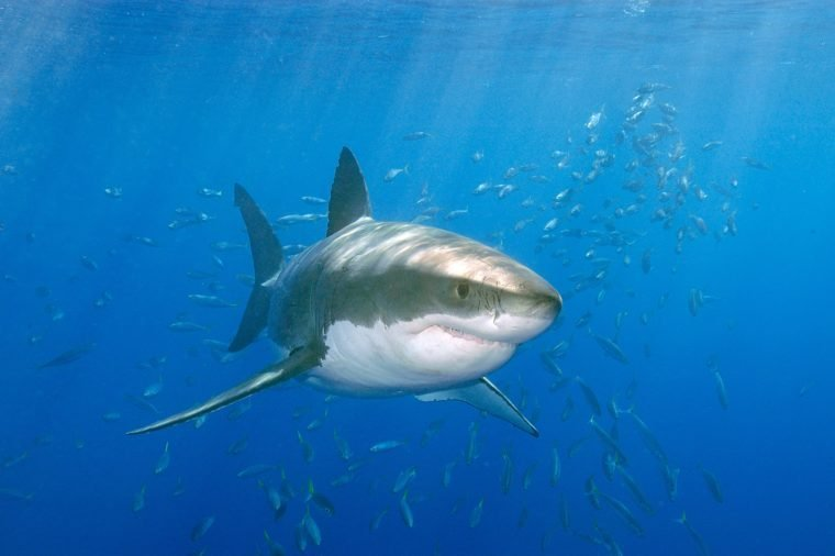 Large Great white shark