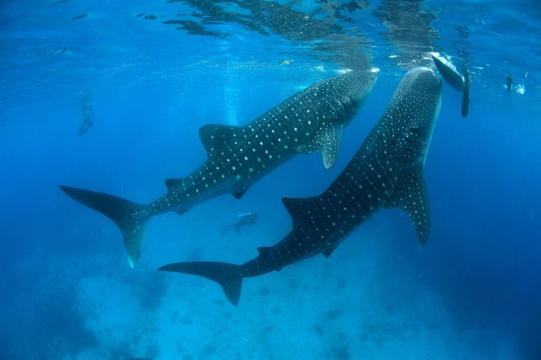 Diver and Whale sharks (Rhincodon typus), the biggest fish in the world, Oslob, Cebu, Philippines