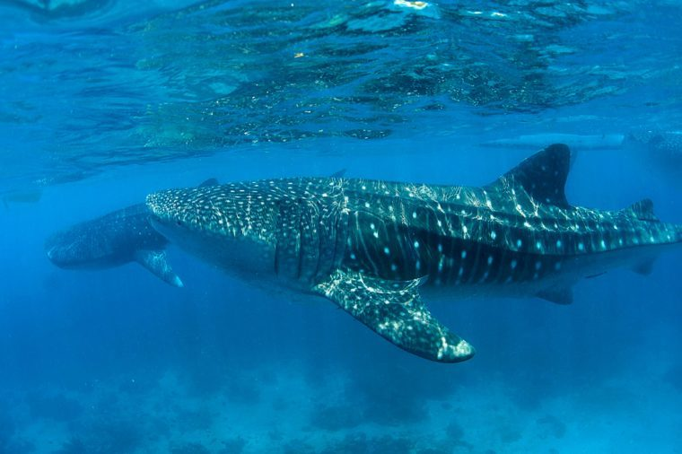 Whale sharks (Rhincodon typus), under water surface, largest fish of the world, Tan-Awan, Cebu, Philippines