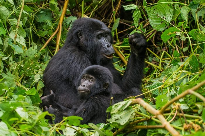 A female mountain gorilla with a baby. Uganda. Bwindi Impenetrable Forest National Park.