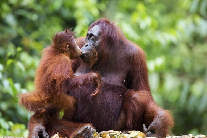A female orang-utan sharing a kiss with her baby in their native habitat. Rainforest of Borneo.