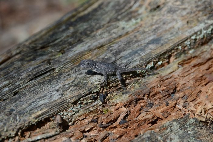 A hatchling eastern fence lizard sitting camouflaged on a rotten log in the sun light
