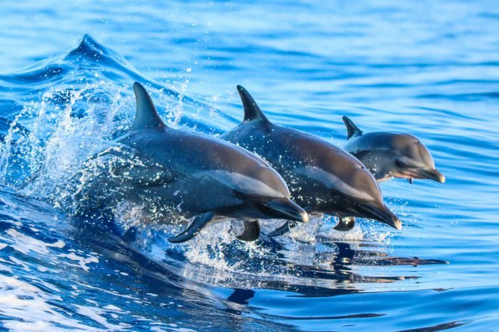 A spotted dolphin family leaping out of the clear blue Hawaii waters.