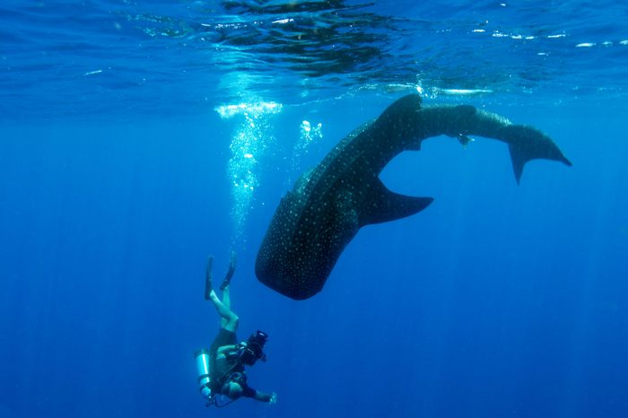 A whale shark diving from the surface with a diver who is holding an underwater video system swimming down with it