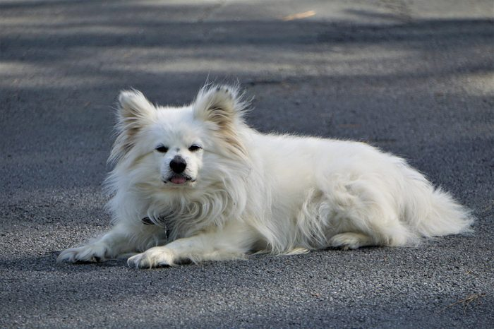 A white male Maltipom (Maltese and Pomeranian crossing) laying on the road enjoy relaxing, Winter in GA USA.