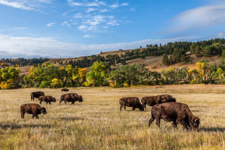 American buffalo herd in Custer State Park, South Dakota, USA