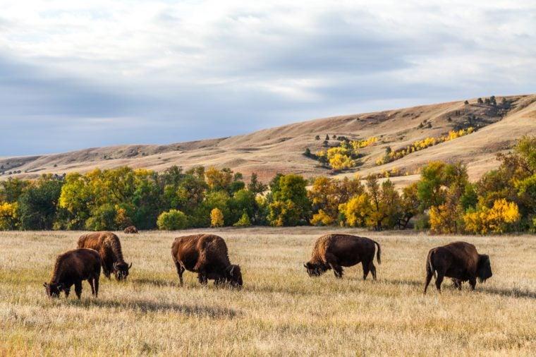 American buffalo / bison herd grazing in Custer State Park, South Dakota
