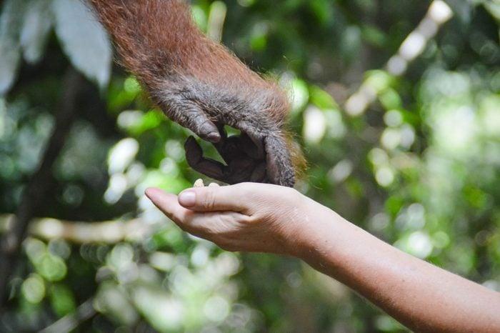 An orangutan touching a human hand
