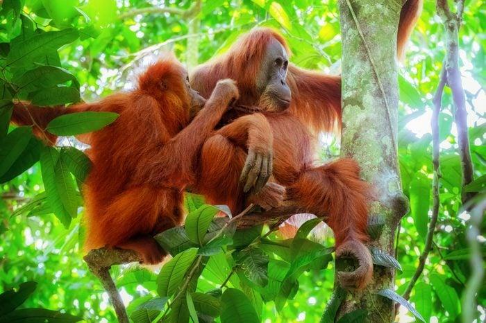Animals in wild. Portrait of orangutan female and cute baby monkey breast feeding at tropical rainforest. Sumatra, Indonesia