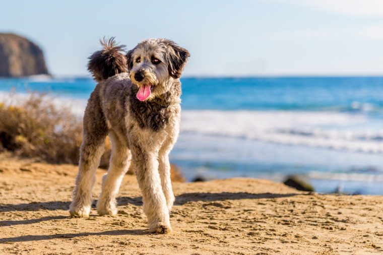 Aussiedoodle puppy playing on beach. Aussiedoodle is a designer dog mix between purebred poodle and Australian Shepard. They are companion dogs.
