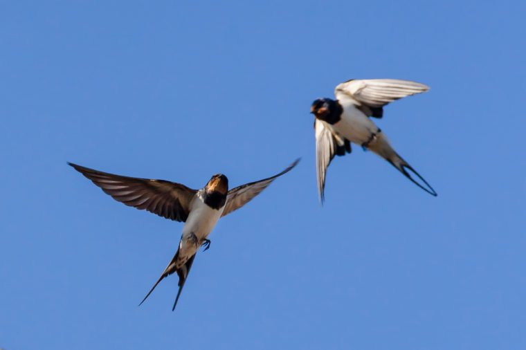 Barn swallows fly, blue sky background