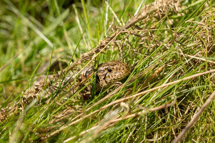 Basking female sand lizard with head popped out of long green grass on Luscombe valley nature reserve, Poole