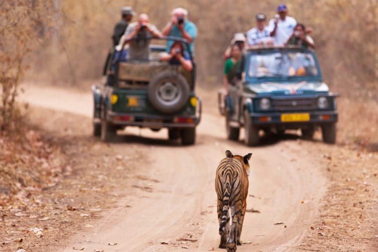 Bengal tiger walking towards 2 jeeps full of tourists in Bandhavgarh National Park, India