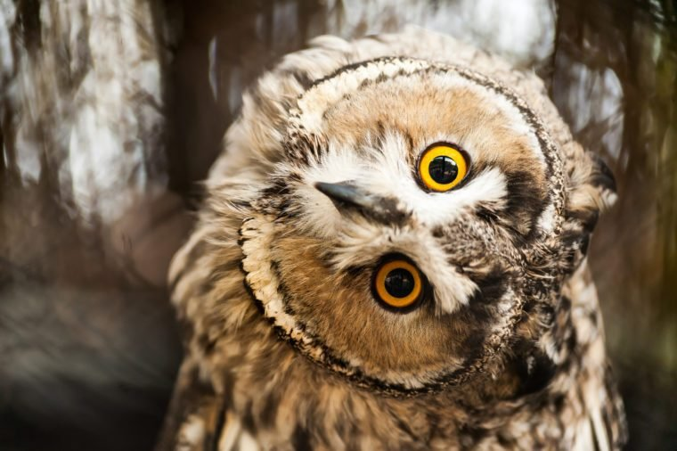 Big yellow eyed eagle owl looking at you with twisted out neck