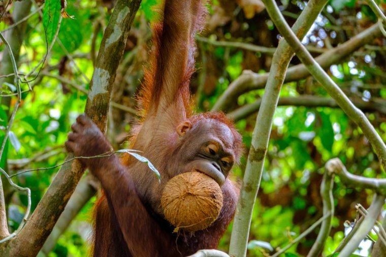 Bornean Orangutan hanging from a tree while carrying a coconut s