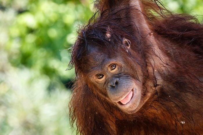 Bornean orangutan playing and hanging on the tree. Portrait shot. Bali, Indonesia.