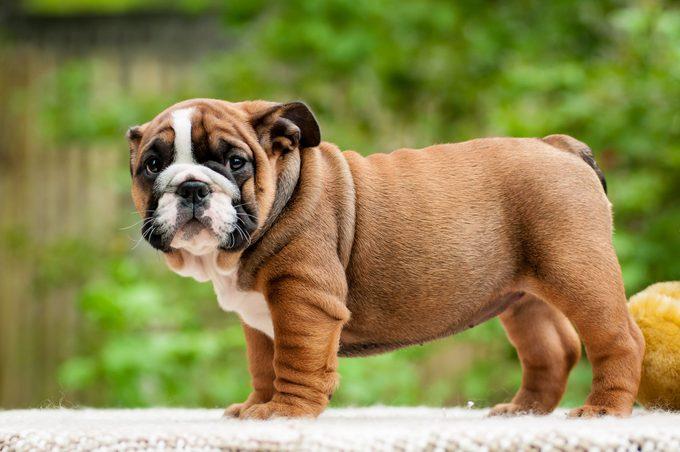 Bulldog puppy in the open air