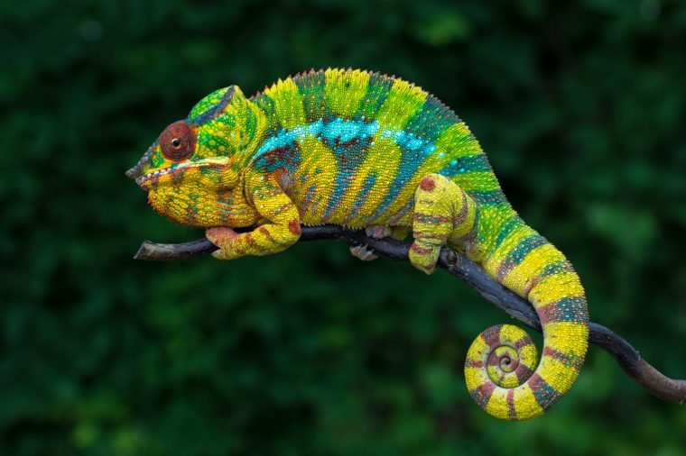 Chameleon Furcifer pardalis Ambolobe 2 years old, Madagascar endemic Panther chameleon in angry state, pure Ambilobe