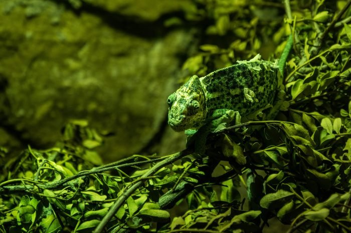 Chameleon adapted to his green scenery