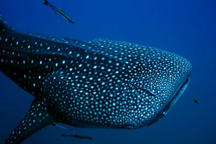 Close encounter with a giant Whale Shark