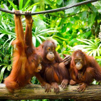 13 Ways Orangutans Are Just Like Humans