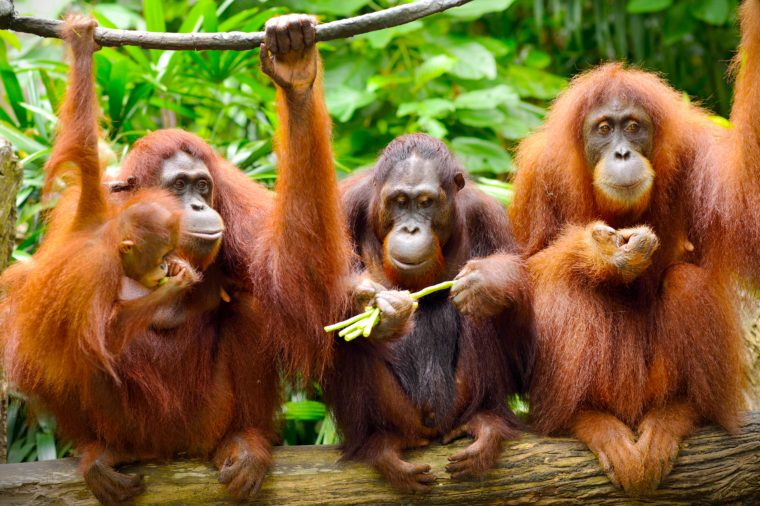 Close up of orangutans, selective focus.