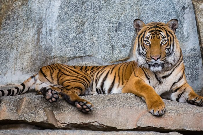 Close up view of an Indochinese tiger (Panthera tigris corbetti)