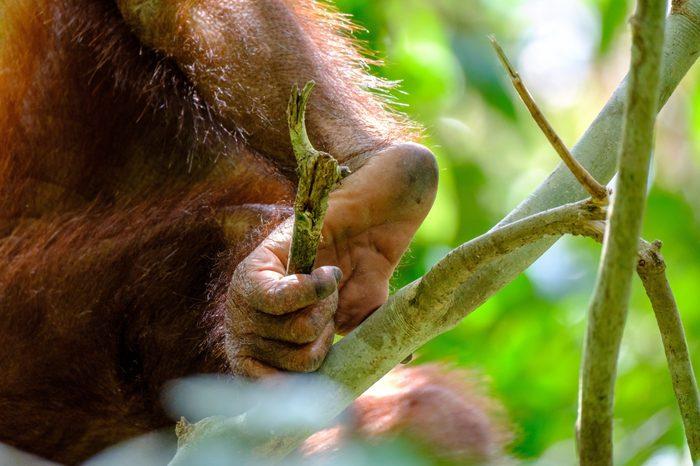 Closeup of the foot of a Bornean Orangutan holding onto a branch