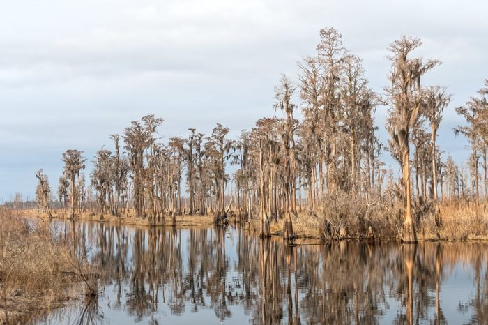 Cypress Grove on a Southern Bayou along the Slow Moving Suwannee River in Stephen C. Foster State Park in the Okefenokee Swamp in Georgia