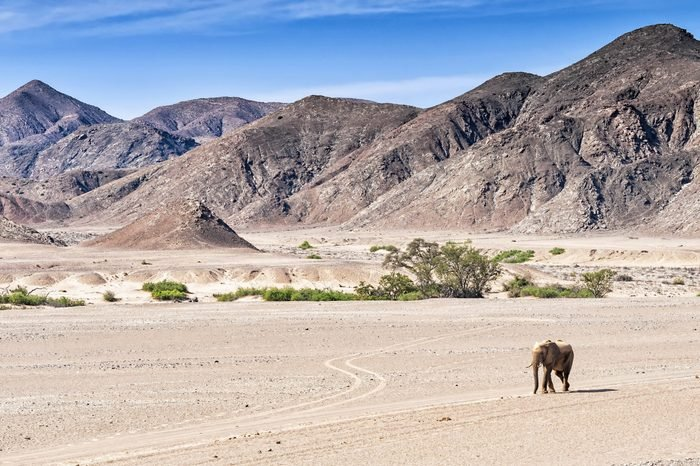 Desert elephant walking in the dried up Hoanib river in Namibia. Desert elephants are african bush elephants that have made their homes in the Namib deserts. Are solitary and roam over large areas