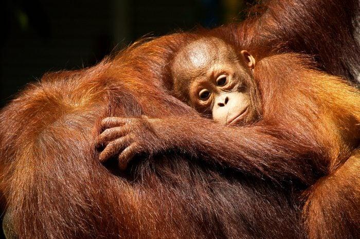 Female orangutan and her baby in the rainforest